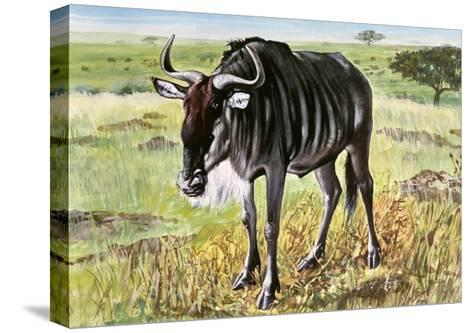 Blue Wildebeest or Brindled Gnu (Connochaetes Taurinus Taurinus), Bovidae--Stretched Canvas Print