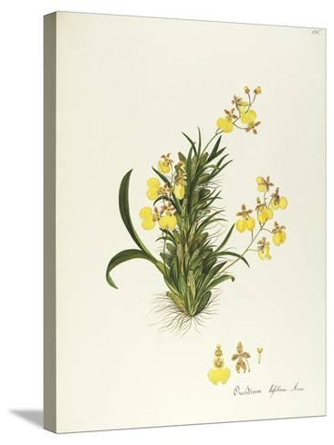 Orchid (Oncidium Bifolium Sims), Orchidaceae by Maddalena Lisa Mussino, Watercolour, 1858--Stretched Canvas Print