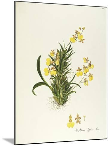 Orchid (Oncidium Bifolium Sims), Orchidaceae by Maddalena Lisa Mussino, Watercolour, 1858--Mounted Giclee Print