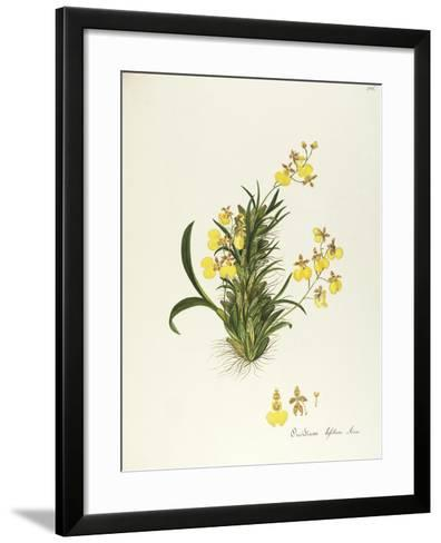 Orchid (Oncidium Bifolium Sims), Orchidaceae by Maddalena Lisa Mussino, Watercolour, 1858--Framed Art Print