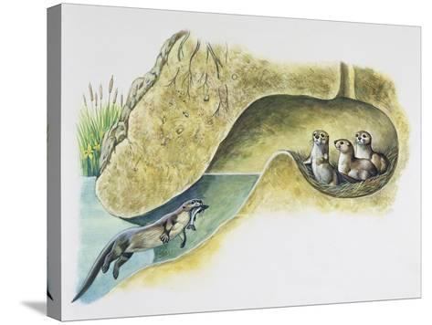Female European Otter (Lutra Lutra), Mustelidae, Bringing Food to Her Pups in Holt--Stretched Canvas Print