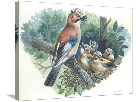 Eurasian Jay Garrulus Glandarius While Bringing Food to Young in Nest--Stretched Canvas Print