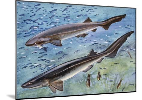Bluntnose Sixgill Shark or Cow Shark (Hexanchus Griseu), Hexanchidae--Mounted Giclee Print