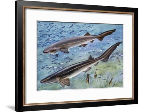 Bluntnose Sixgill Shark or Cow Shark (Hexanchus Griseu), Hexanchidae--Framed Art Print