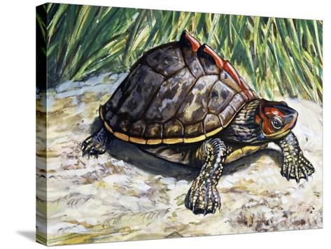 Indian Roofed Turtle (Pangshura Tecta or Kachuga Tecta), Geoemydidae--Stretched Canvas Print