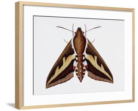 Hawk Moth or Leafy Spurge Hawk Moth (Hyles Euphorbiae), Sphingidae, Artwork by Barry Croucher--Framed Art Print