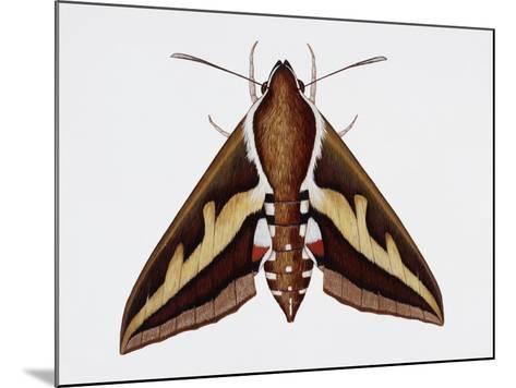 Hawk Moth or Leafy Spurge Hawk Moth (Hyles Euphorbiae), Sphingidae, Artwork by Barry Croucher--Mounted Giclee Print