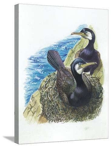Couple of Great Cormorants Phalacrocorax Carbo, Female Is in Nest Warming the Eggs--Stretched Canvas Print