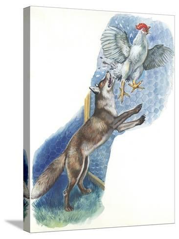 Fox (Vulpes Vulpes) Trying to Catch Rooster While Raiding Hen House--Stretched Canvas Print