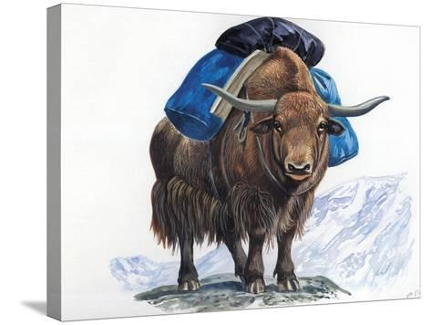 Yak or Tibetan Ox (Bos Grunniens), Bovidae, Used for Transportation--Stretched Canvas Print