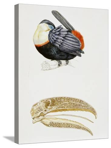White-Throated Toucan (Ramphastos Tucanus) and its Beak Bone Structure, Ramphastidae--Stretched Canvas Print