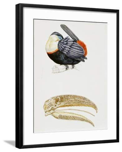 White-Throated Toucan (Ramphastos Tucanus) and its Beak Bone Structure, Ramphastidae--Framed Art Print