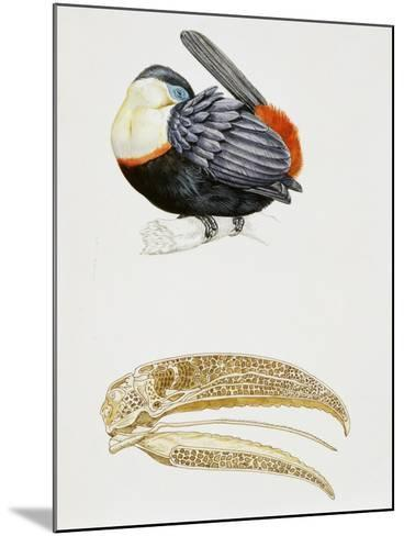White-Throated Toucan (Ramphastos Tucanus) and its Beak Bone Structure, Ramphastidae--Mounted Giclee Print