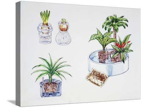 Hydroculture, Growing of Plants in a Soilless Medium or an Aquatic Based Environment--Stretched Canvas Print