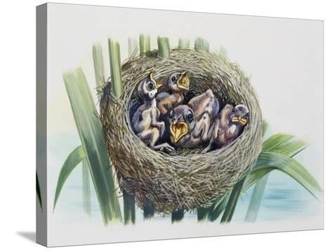 Chick of Common Cuckoo (Cuculus Canorus), Cuculidae, in Nest of Parasitic Species--Stretched Canvas Print