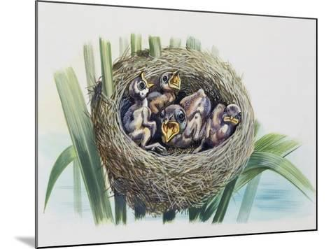 Chick of Common Cuckoo (Cuculus Canorus), Cuculidae, in Nest of Parasitic Species--Mounted Giclee Print