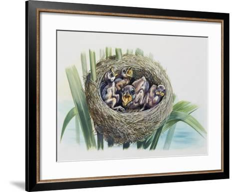 Chick of Common Cuckoo (Cuculus Canorus), Cuculidae, in Nest of Parasitic Species--Framed Art Print