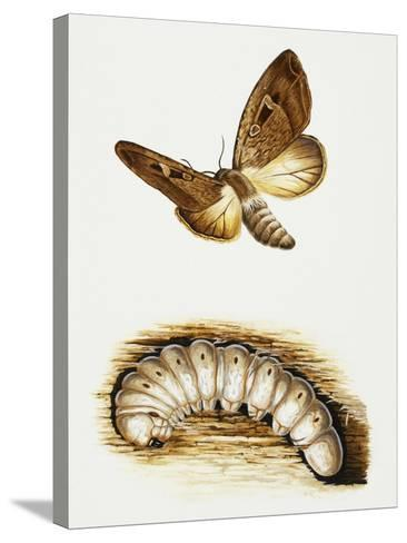 Larva and Butterfly of Bogong Moth (Agrotis Infusa), Noctuidae, Artwork by Mike Atkinson--Stretched Canvas Print