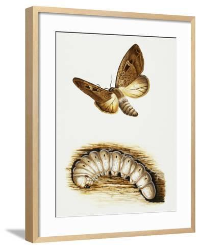 Larva and Butterfly of Bogong Moth (Agrotis Infusa), Noctuidae, Artwork by Mike Atkinson--Framed Art Print