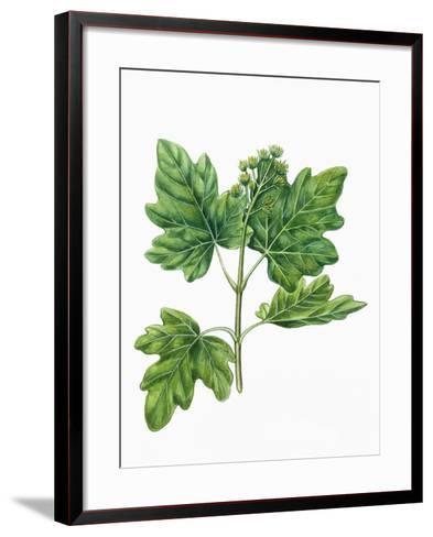 Botany, Trees, Aceraceae, Leaves and Flowers of Field Maple Acer Campestre--Framed Art Print