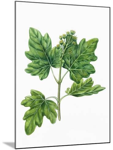 Botany, Trees, Aceraceae, Leaves and Flowers of Field Maple Acer Campestre--Mounted Giclee Print