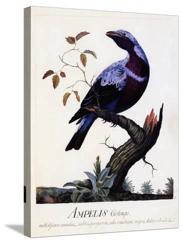 Ampelis Cotinga (Cotinga Cotinga), Purple-Breasted Cotinga, Watercolour--Stretched Canvas Print