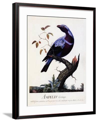 Ampelis Cotinga (Cotinga Cotinga), Purple-Breasted Cotinga, Watercolour--Framed Art Print