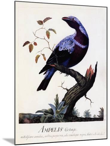 Ampelis Cotinga (Cotinga Cotinga), Purple-Breasted Cotinga, Watercolour--Mounted Giclee Print