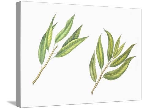 Botany, Trees, Rosaceae, Leaves of Almond Prunus Dulcis and Peach Prunus Persica--Stretched Canvas Print