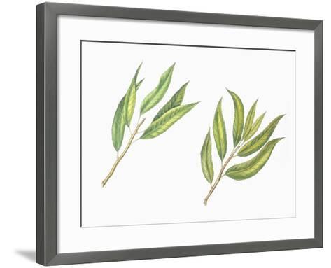 Botany, Trees, Rosaceae, Leaves of Almond Prunus Dulcis and Peach Prunus Persica--Framed Art Print