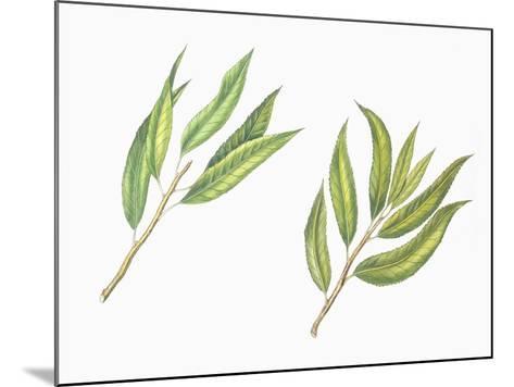 Botany, Trees, Rosaceae, Leaves of Almond Prunus Dulcis and Peach Prunus Persica--Mounted Giclee Print
