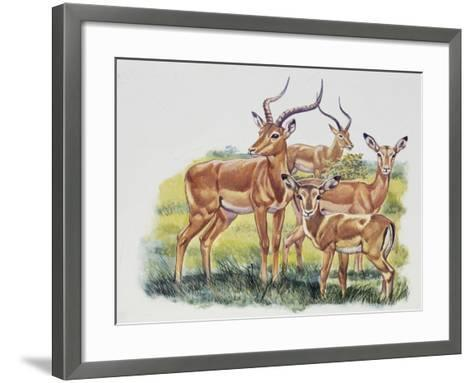 Buck (Male), Doe (Female) and Fawn of Impala (Aepyceros Melampus), Bovidae--Framed Art Print