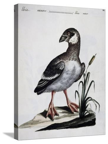 Dovekie (Alle Alle), Coloured Is from History of Birds, 1767, Table 550--Stretched Canvas Print