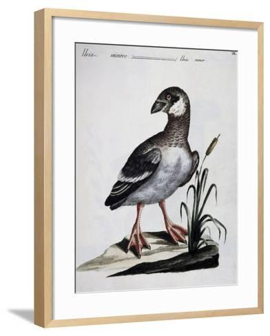 Dovekie (Alle Alle), Coloured Is from History of Birds, 1767, Table 550--Framed Art Print