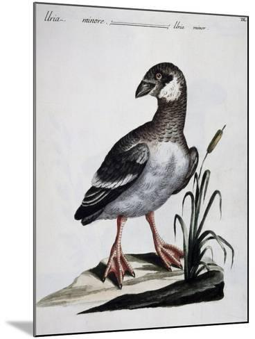 Dovekie (Alle Alle), Coloured Is from History of Birds, 1767, Table 550--Mounted Giclee Print