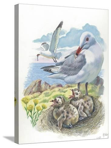 AudouinS Gull Ichthyaetus or Larus Audouinii with Chicks in Nest--Stretched Canvas Print
