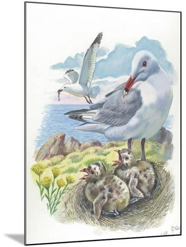 AudouinS Gull Ichthyaetus or Larus Audouinii with Chicks in Nest--Mounted Giclee Print