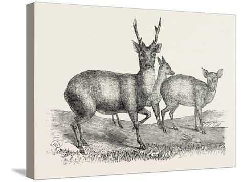 The Earl of Derby's Menagerie, at Knowsley, Uk: Male and Female Hog Deer--Stretched Canvas Print