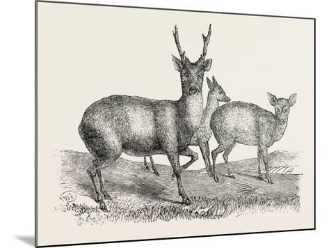 The Earl of Derby's Menagerie, at Knowsley, Uk: Male and Female Hog Deer--Mounted Giclee Print