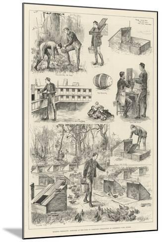 Rearing Pheasants, Sketches at the Duke of Norfolk's Pheasantry at Angmering Park, Sussex--Mounted Giclee Print