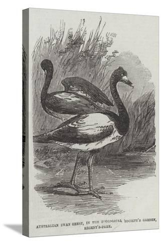 Australian Swan Geese, in the Zoological Society's Garden, Regent'S-Park--Stretched Canvas Print