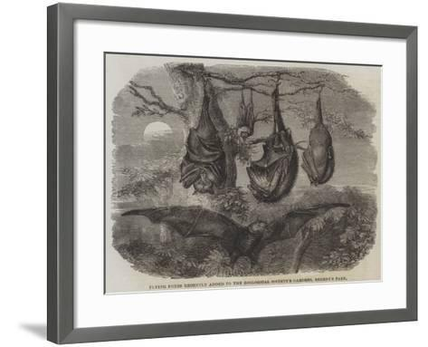 Flying Foxes Recently Added to the Zoological Society's Gardens, Regent's Park--Framed Art Print
