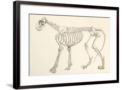 Skeleton of a Lion, Panthera Leo. from the National Encyclopaedia, Published C.1890--Framed Art Print