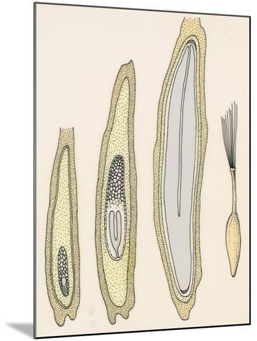 Lettuce Embryo (Lactuca Sativa), Asteraceae, Diagram of the Development Cycle of its Fruit, Design--Mounted Giclee Print