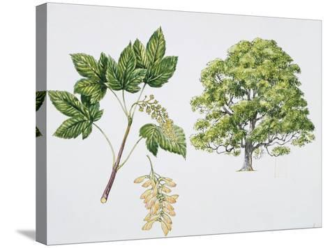 Botany, Aceraceae, Sycamore Maple Acer Pseudoplatanus with Flower and Leaf--Stretched Canvas Print