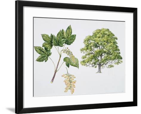 Botany, Aceraceae, Sycamore Maple Acer Pseudoplatanus with Flower and Leaf--Framed Art Print