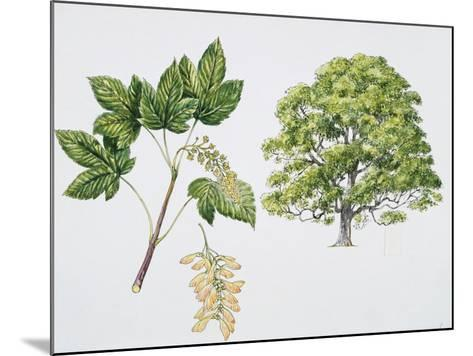 Botany, Aceraceae, Sycamore Maple Acer Pseudoplatanus with Flower and Leaf--Mounted Giclee Print