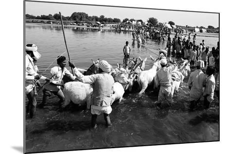 Donkeys and Men Crossing Sabarmati River, Vautha Fair, Gujarat, India, 1983--Mounted Photographic Print