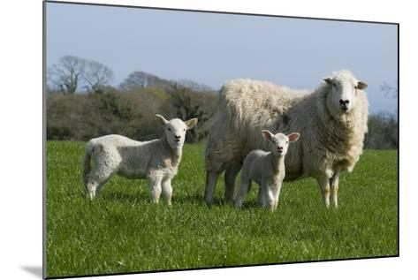 Welsh Mountain Sheep: Ewe with Two Lambs, Nicholaston, Gower, S.Wales, Uk--Mounted Photographic Print