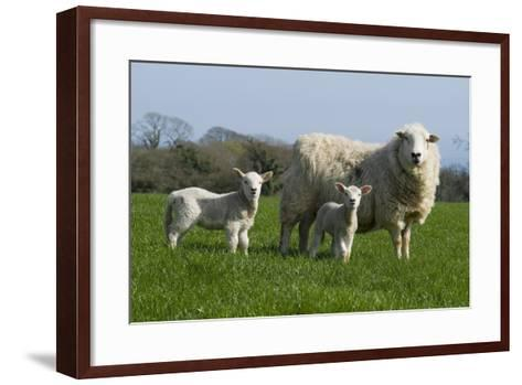 Welsh Mountain Sheep: Ewe with Two Lambs, Nicholaston, Gower, S.Wales, Uk--Framed Art Print